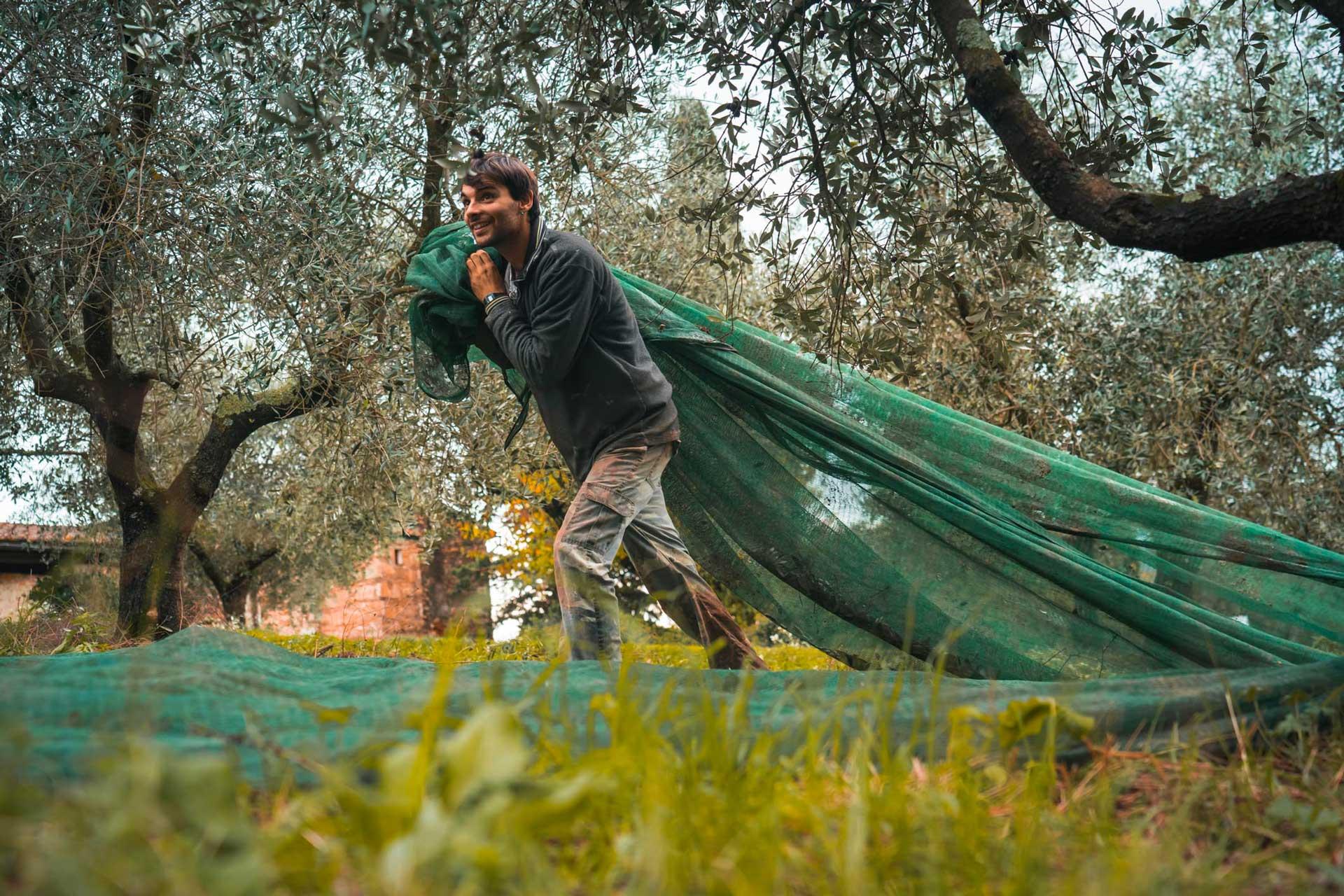 produzione olio extravergine d'oliva toscana